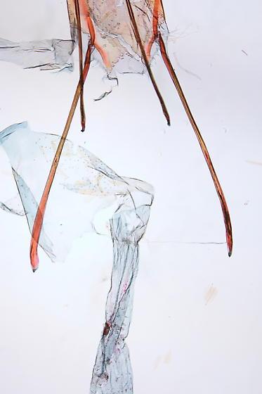 Ephestia kuehniella - female