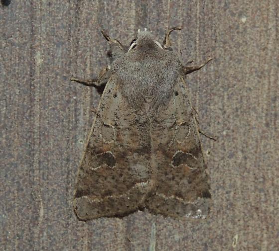 Gray moth sp? - Orthosia hibisci