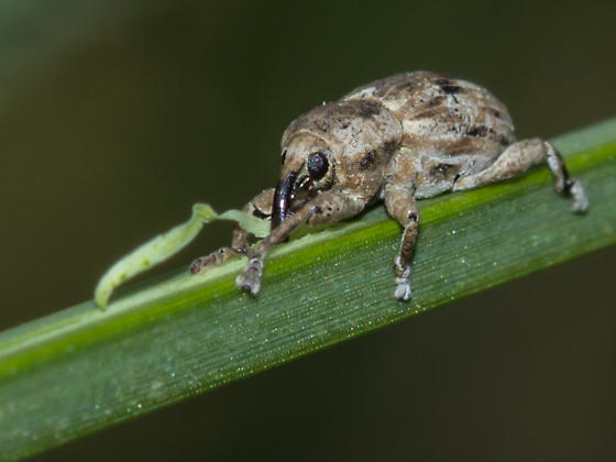 weevil for ID - Notiodes