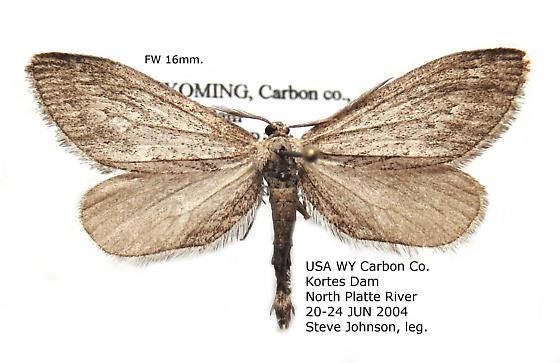 Glaucina nephos - Hodges#6506 - Glaucina nephos - male