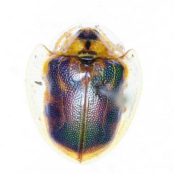 Physonota calochroma floridensis - Physonota calochroma