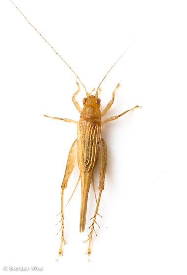 Anaxipha delicatula - female