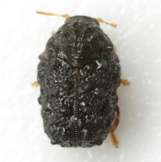 Exema neglecta Blatchley - Exema neglecta - female