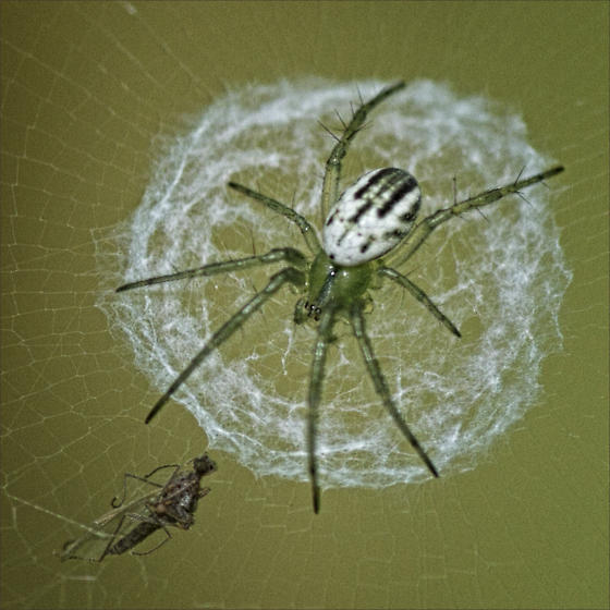Order Araneae - Spiders ID please - Mangora gibberosa