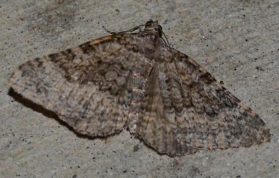 geometrid moth - Archirhoe neomexicana
