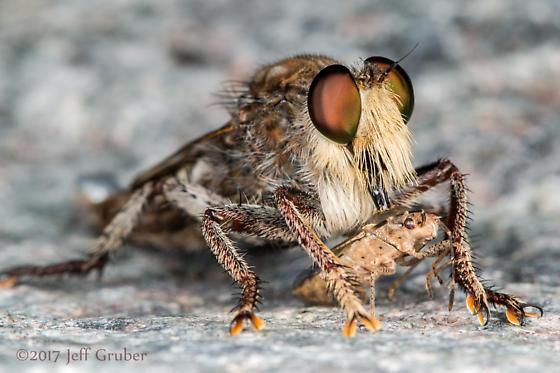 Asilid - Promachus truquii - male
