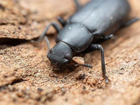 Tenebrionidae - Alobates sp.?? - Alobates