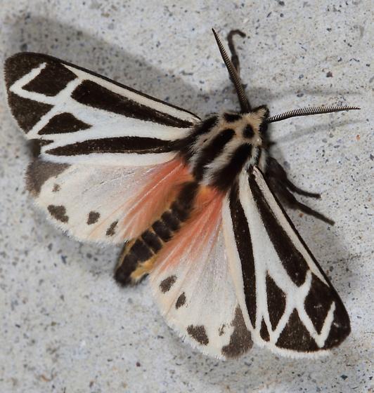 Apantesis phalerata