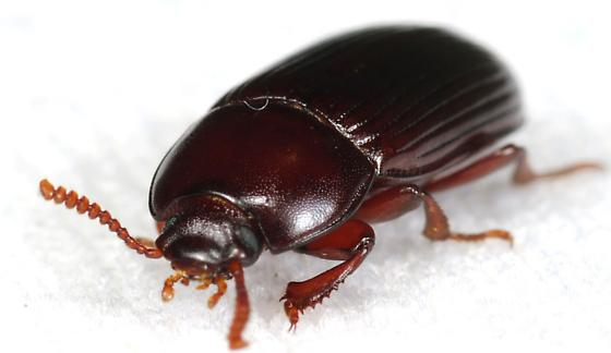 Beetle - Uloma imberbis