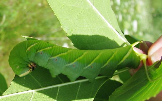 Caterpillar gathering_2011 - Ceratomia undulosa