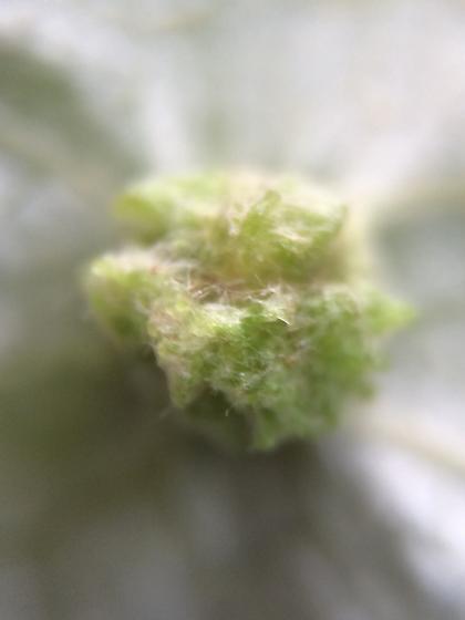 Gall - Daktulosphaira vitifoliae