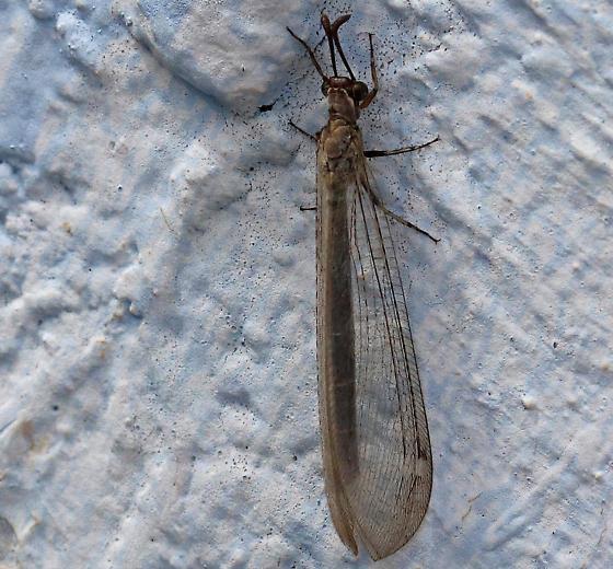 Myrmeleon immaculatus? - Myrmeleon