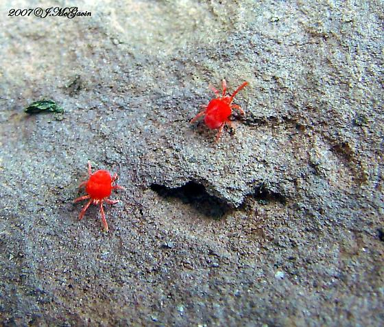 Large Red Mites - Trombidium
