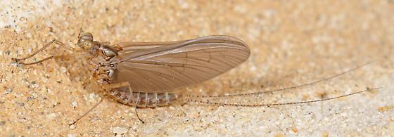 Baetid subimago - Cloeon dipterum - female