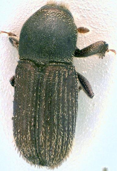 Scolytinae  - Cnesinus strigicollis