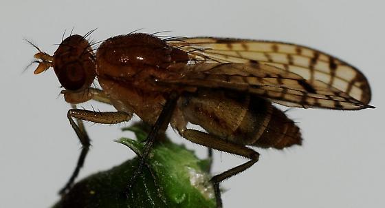 Marsh Flies - Tetanocera valida