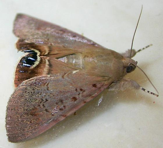 Litoprosopus futilis