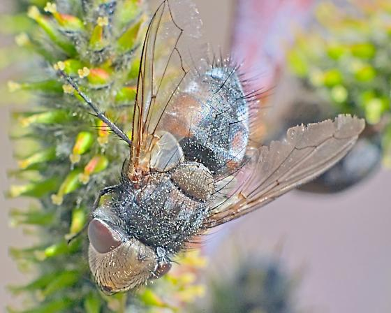 Fly ~11mm - Gonia