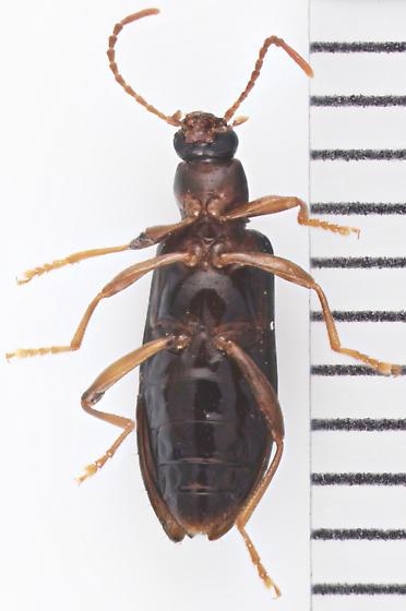 Tenebrionidae, ventral - Statira