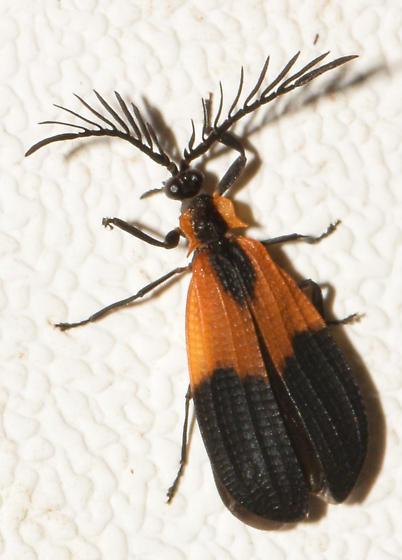 beetle080518c - Caenia dimidiata