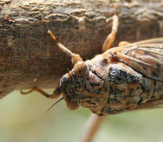 Cicada maybe? - Okanagodes gracilis