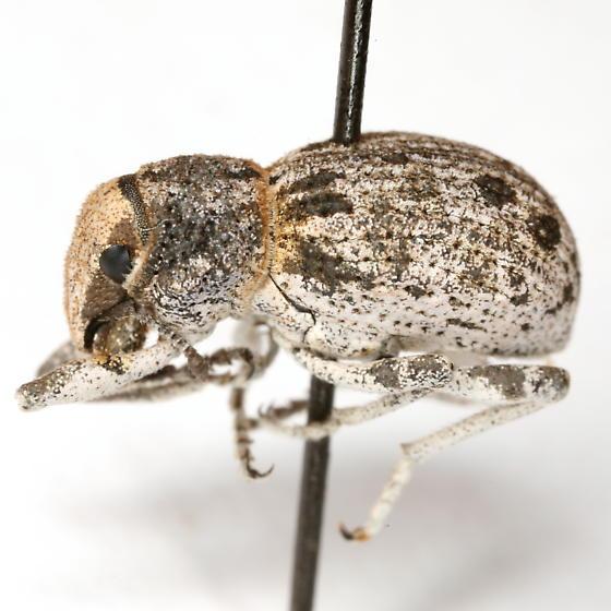 Ophryastes tuberosus LeConte - Ophryastes tuberosus