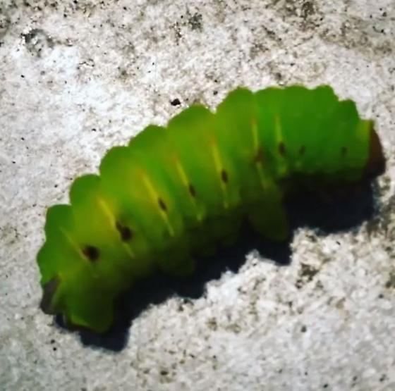 Caterpillar - Antheraea polyphemus