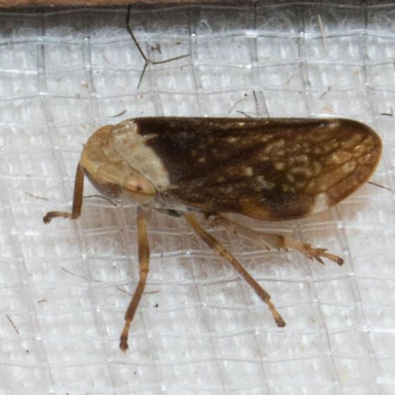 Leafhopper - Philaenus spumarius