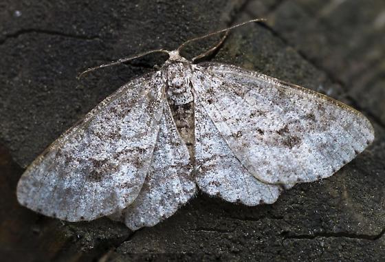 Geometrid moth - Spruce-fir looper? - Ectropis crepuscularia