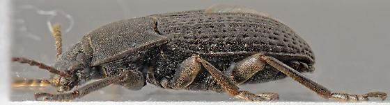 Alaetrinus - Alaetrinus minimus