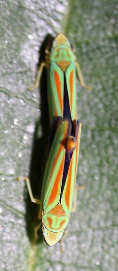Graphocephala fennahi  - Graphocephala fennahi - male - female