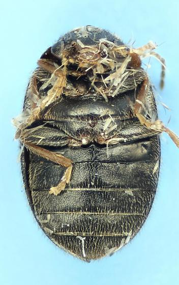 Marsh Beetle? - Contacyphon