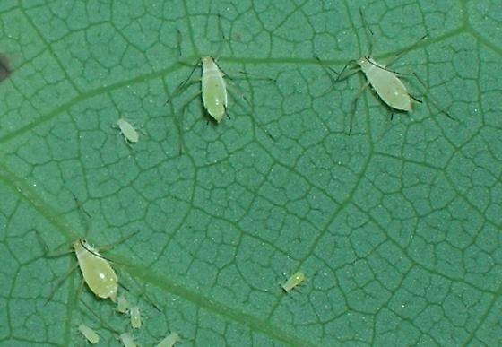 Backyard Aphids - Illinoia liriodendri