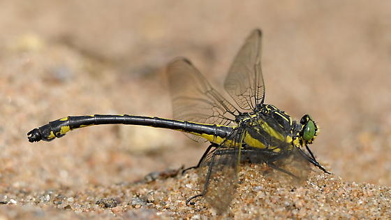 Dragonhunter - Hagenius brevistylus - male