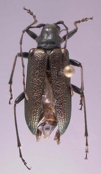 Anthophylax viridis LeConte - Anthophylax viridis