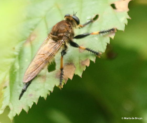 Red-footed cannibalfly? - female
