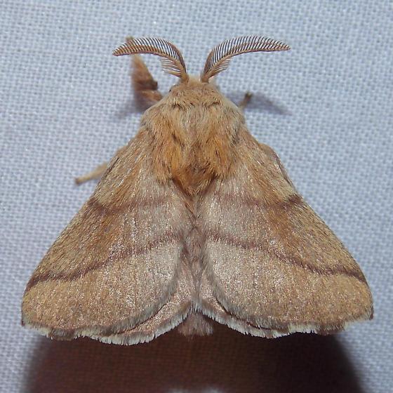 7698 Forest Tent Caterpillar Moth - Malacosoma disstria