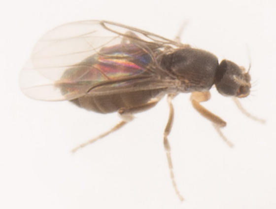 Fly - Metopina - female