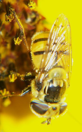 Syrphid fly? - Copestylum satur - female