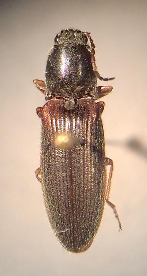 Hemicrepidius hemipodus - female