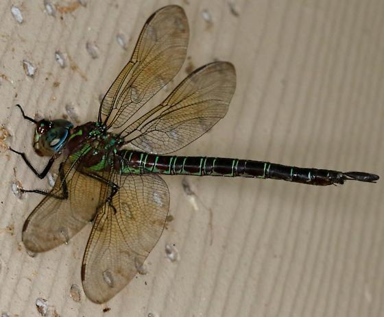 Dragonfly - Epiaeschna heros