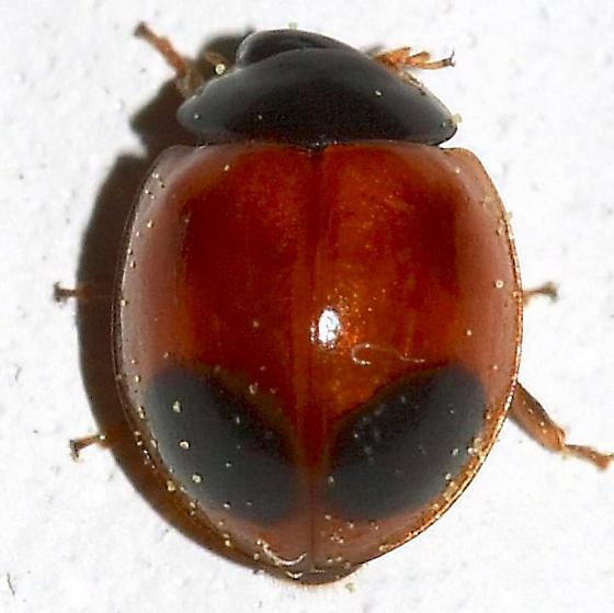Beetle - Exochomus marginipennis
