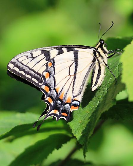 Freindly Butterfly - Papilio glaucus - male