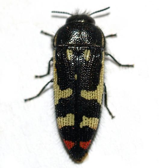 Acmaeodera amabilis? - Acmaeodera amabilis