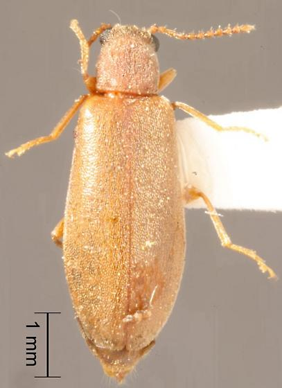 Lacconotus pallidus Van Dyke - Lacconotus pinicola