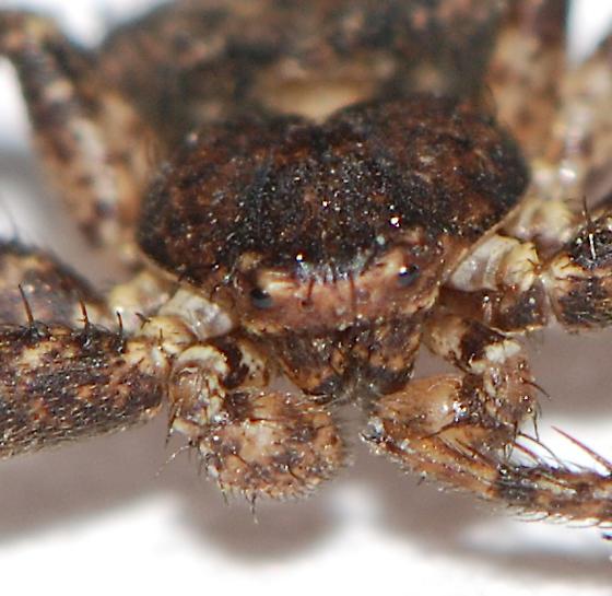unknown crab spider - Bassaniana