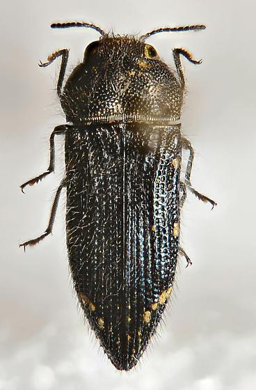Buprestid - Acmaeodera ornatoides