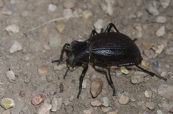 Darkling Beetle - Philolithus