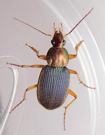 subgenus Chlaeniellus - Chlaenius tricolor - male