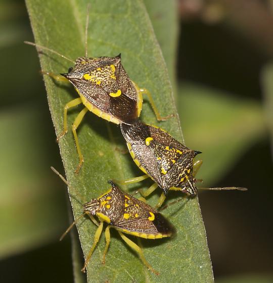 Possible stinkbugs?? - Conquistator mucronatus